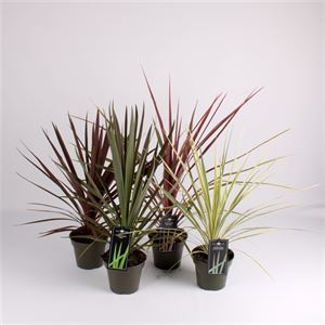 Picture of Cordyline mix