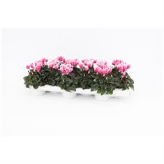 Picture of Cyclaam  Snowridge Pink