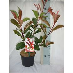 Picture of Photinia x fraseri Red Robin