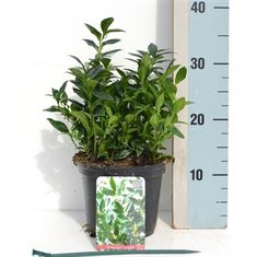 Picture of Sarcococca confusa