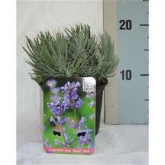 Picture of Lavandula angustifolia Dwarf Blue
