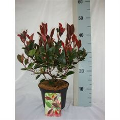 Picture of Photinia fraseri Little Red Robin