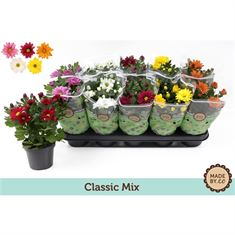 Picture of Chrysant classic mix