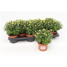 Picture of Chrysanthemum Gardenmum Yellow