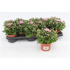 Picture of Chrysanthemum Gardenmum Pink
