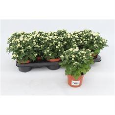 Picture of Chrysanthemum Gardenmum White