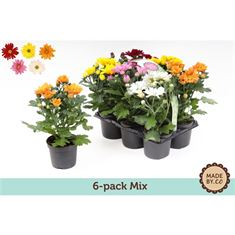 Picture of Chrysant classic mix 6pack
