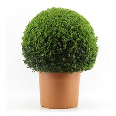 Picture of Buxus 60 cm. ball (Minimum order is 1 shelf)