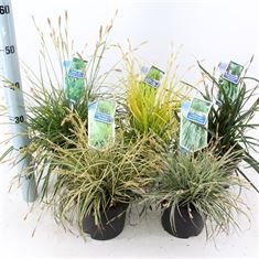 Picture of Ornamental grasses mix