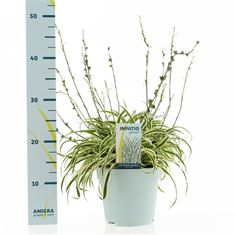 Picture of Arthropodium candidum little lilia