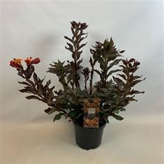 Picture of Alstroemeria Indian Summer in 19cm pot