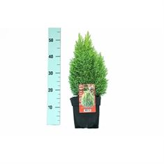 Picture of Chamaecyparis lawsoniana Ellwoods Gold