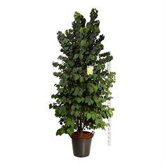 Picture of Cercidiphyllum japonicum