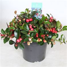 Picture of Gaultheria pro. Big Berry