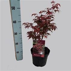 Picture of Acer palm.Atropurpureum 30-40  19/C3