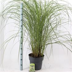 Picture of Miscanthus sin. Vanilla Sky
