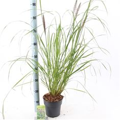 Picture of Pennisetum alopecuroides Red Head