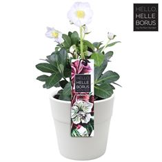 Picture of Helleborus niger christmas carol (Ceramic) - Basic