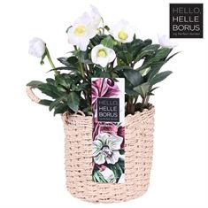 Picture of Helleborus niger Christmas Carol (Fabric basket with Hanger) - Basic